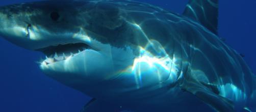Usa, squalo bianco avvistato alla spiaggia di Newcomb Hollow
