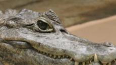 Sardegna, anomala scomparsa: sparito un caimano dal circo, è allarme ad Orosei
