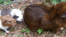 Cochon d'Inde : l'essentiel en sept points