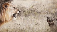 Selon les chercheurs, la personnalité du chat serait proche de celle du lion d'Afrique