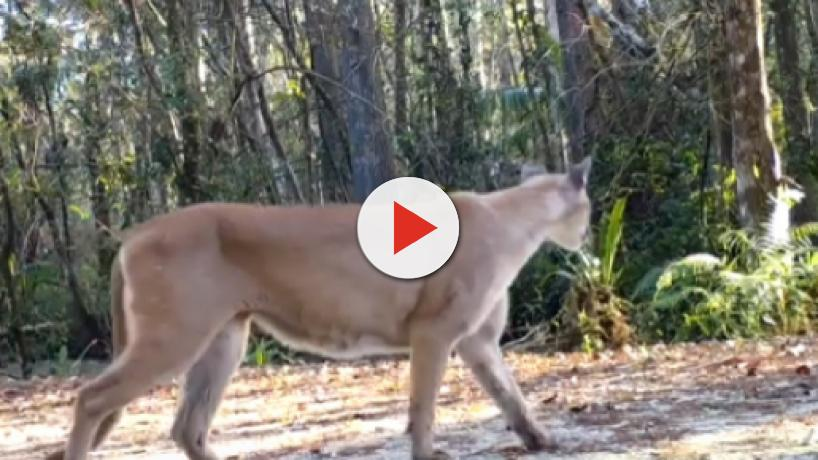 Florida: Panthers are an endangered species and are prey to some mysterious illness