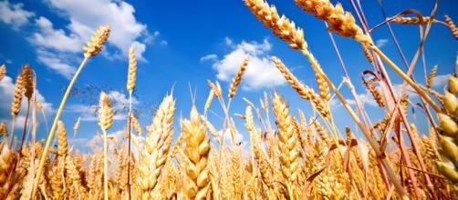 El trigo es uno de los cereales más consumidos en el planeta. - isanidad.com