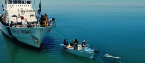 The race to save the last of the Vaquita. [Image source/ABC News YouTube video]