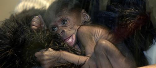 Cina, annunciata la creazione di un embrione ibrido uomo-scimmia