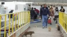Japan: Tourism affected in 'Cat Island' because of drastic reduction in feline population