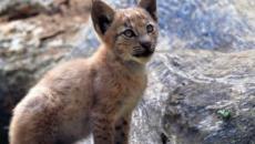 El primer lince boreal nace en el Pirineo catalán tras más de un siglo