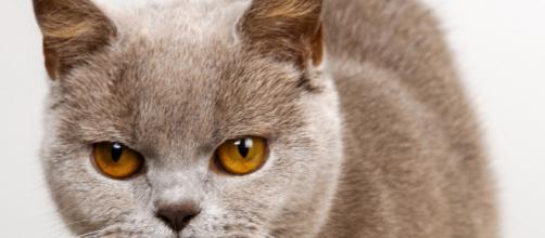 Fond d'écran : visage, chat, colère, nez, moustaches, Bleu russe ... - wallhere.com