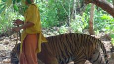 Nearly half of 150 tigers rescued from a Thai temple die