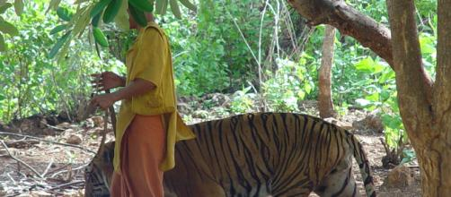 Over half of the tigers rescued from Thailand tourist attraction are dead. (Image credit: MichaelJanich/Wikimedia Commons)