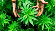 Sardegna: 75 piante di marijuana per oltre 35 chili, due arresti ad Alghero