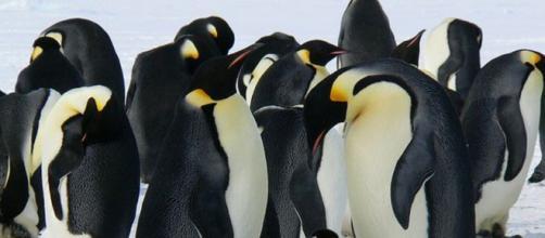Mappato il dna di 19 specie di pinguini
