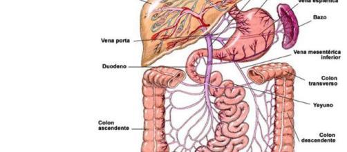 El sistema digestivo selecciona y absorbe los nutrientes. - multidudas.com
