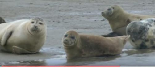 Seals continue to thrive in the River Thames. [Image source/Tom Edwards, BBC London YouTube video]