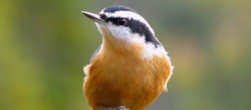 Photograph of a nuthatch. [Image source/LesleytheBirdNerd YouTube video]