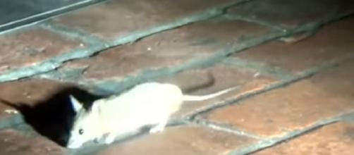 Rats invaded famous restaurants when business closed for the night. [Image source/Inside Edition YouTube video]