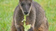 Australia: operazione Rock Wallaby, gli elicotteri lanciano carote e patate ai canguri