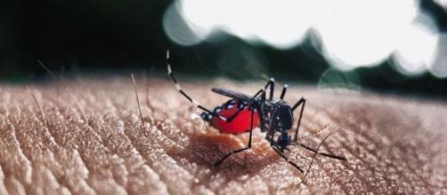 Fêmea do Aedes aegypti é responsável pela transmissão da febre amarela, dengue, chikungunya e zika vírus. (Reprodução/Pixabay)