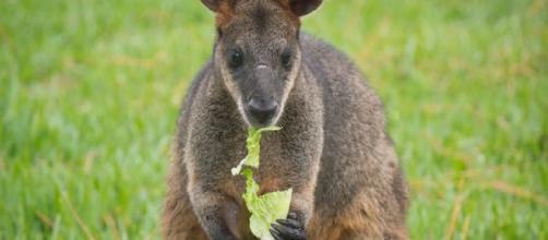 Wallaby, piccoli canguri dell'Australia in pericolo d'estinzione