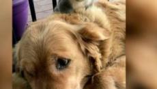 Una perrita salva a un koala de morir en Australia