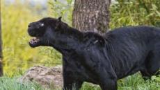 Foggia, una pantera si aggirerebbe per le campagne di San Severo