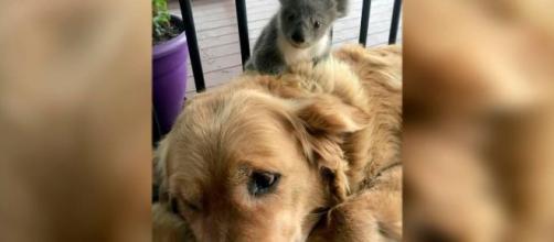 Incendios de Australia: una perrita salva a un koala de morir