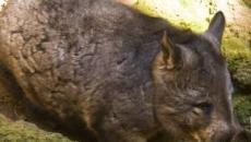 Australia: i vombati, i piccoli marsupiali scavatori offrono rifugio agli altri animali