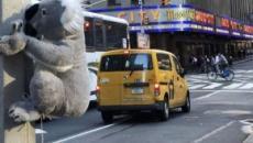 Koala a New York: peluche disseminati ovunque per una buona causa, salvare l'Australia