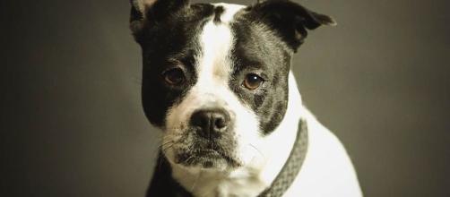 Cães podem prever alguns acontecimentos. (Reprodução/Pixabay)