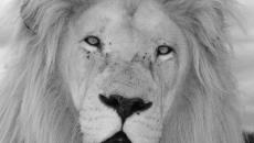 Previsioni astrologiche di febbraio, Leone: lungimiranti, malinconie d'amore