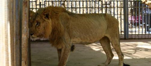 Sudan, appello per salvare i leoni denutriti e malati dello zoo di Khartum | corriere.it