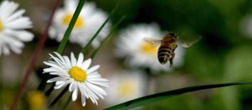 Saving Bees: progetto tutto italiano in difesa delle api.
