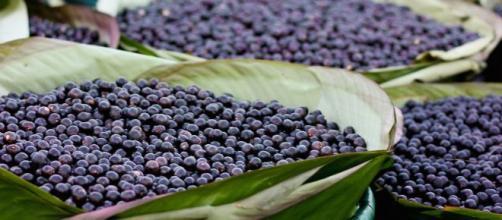 La baie d'açai : le fruit qui fait la tendance mondiale. Credit: Wikimedia Commons/rCamila Neves Rodrigues da Silva