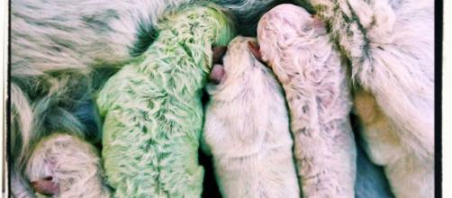 """Pistacchio, il cucciolo di Labrador """"verde"""" nato in Sardegna."""
