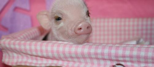 Los Mini pigs son mascotas muy amigables
