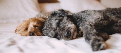 Quels sont les avantages à dormir avec son chien ? Photo Pixabay