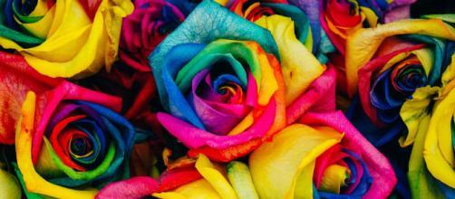 'Rainbow rose': una produzione floreale olandese a tema arcobaleno.