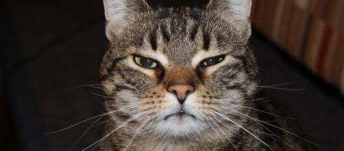 Le chat pourrait aider à la réalisation d'un vaccin contre le Covid-19 - Photo Pixabay