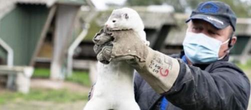 Dinamarca sacrifica hasta 17 millones de visones por el virus