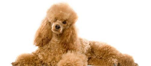 Bari, a Bitonto una cagnolina trovata positiva al Coronavirus.