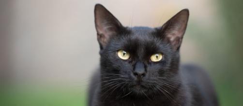 Chat noir entre myhthe et réalité tout ce qu'il faut savoir sur ces félins - Photo Pixabay