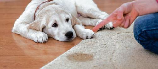 El adiestramiento de los perros los ayudará a sentirse más confortables en el hogar.
