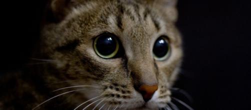 Pourquoi mon chat me fixe du regard ? Photo Pixabay