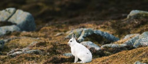 Mountain Hare threatened by climate change. [©Pace Production YouTube video]