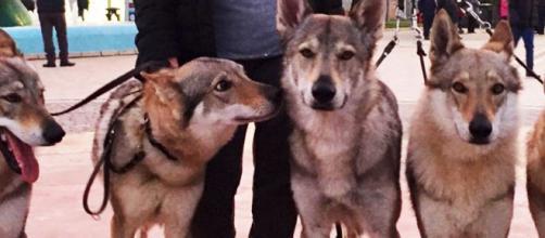 Torino, donna di 74 anni sbranata dai cinque cani della figlia.