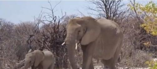 In Memory of Voortrekker: Some of Namibia's beautiful elephants. [©NikelaWildlife YouTube video]