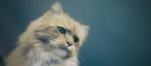 chat pourquoi il roucoule et qu'est ce que cela signifie