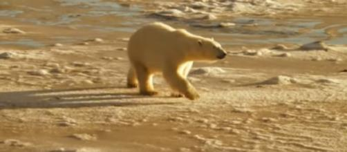 Polar bears and global warming. [Image source/Vancouver Sun YouTube video]