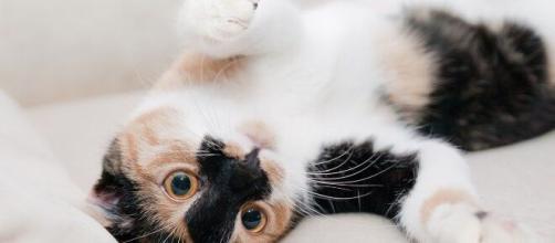 chat : s'il vous montre son ventre ce n'est pas seulement parce qu'il veut des caresses