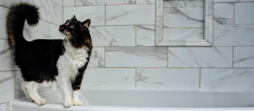 chat : pourquoi aime-t-il autant passer du temps dans la salle de bain