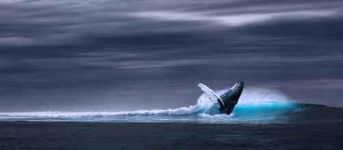 Registran el mayor número de ballenas azules de hace 50 años